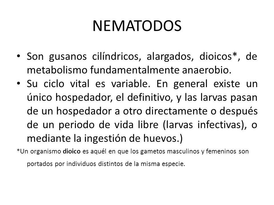 NEMATODOS Son gusanos cilíndricos, alargados, dioicos*, de metabolismo fundamentalmente anaerobio. Su ciclo vital es variable. En general existe un ún