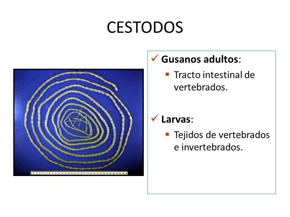 CESTODOS Gusanos adultos: Tracto intestinal de vertebrados. Larvas: Tejidos de vertebrados e invertebrados.