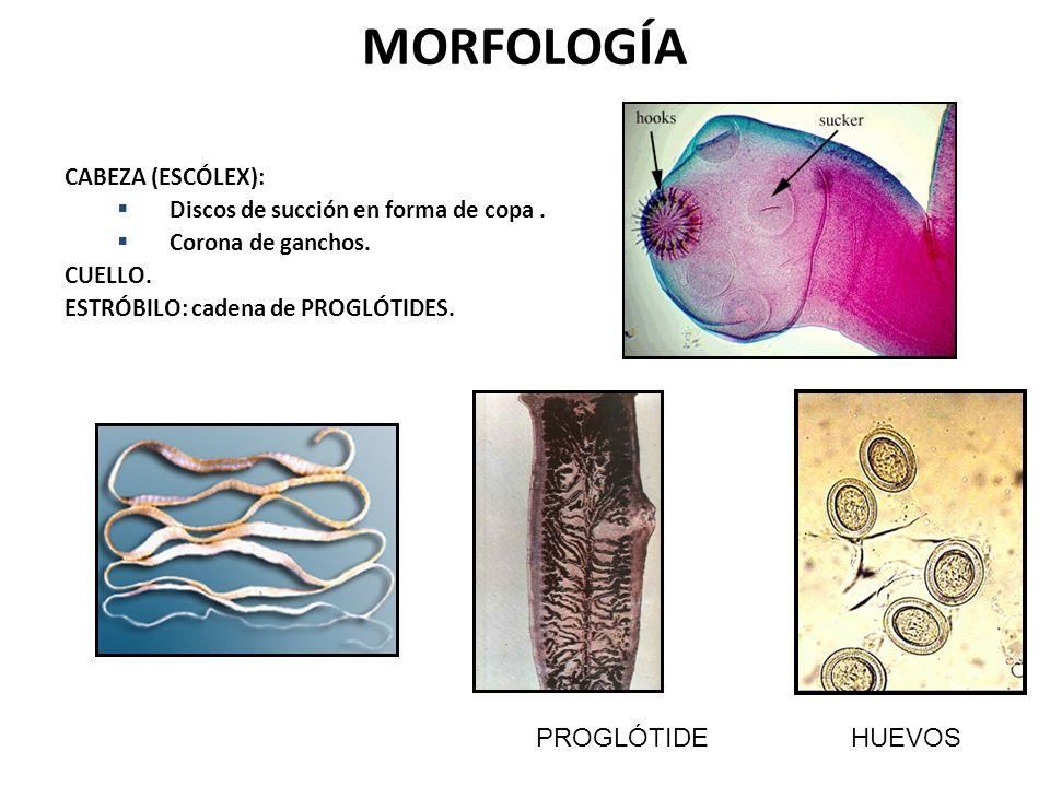 MORFOLOGÍA CABEZA (ESCÓLEX): Discos de succión en forma de copa. Corona de ganchos. CUELLO. ESTRÓBILO: cadena de PROGLÓTIDES. PROGLÓTIDE HUEVOS
