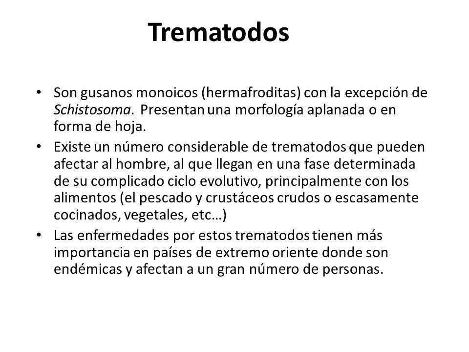 Trematodos Son gusanos monoicos (hermafroditas) con la excepción de Schistosoma. Presentan una morfología aplanada o en forma de hoja. Existe un númer