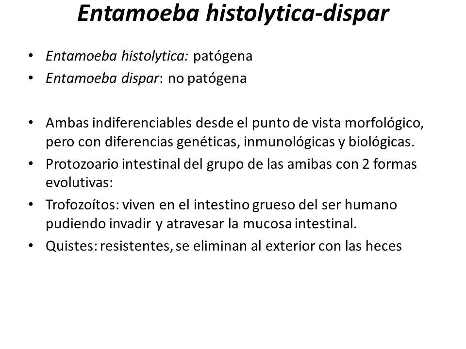 Entamoeba histolytica-dispar Entamoeba histolytica: patógena Entamoeba dispar: no patógena Ambas indiferenciables desde el punto de vista morfológico,