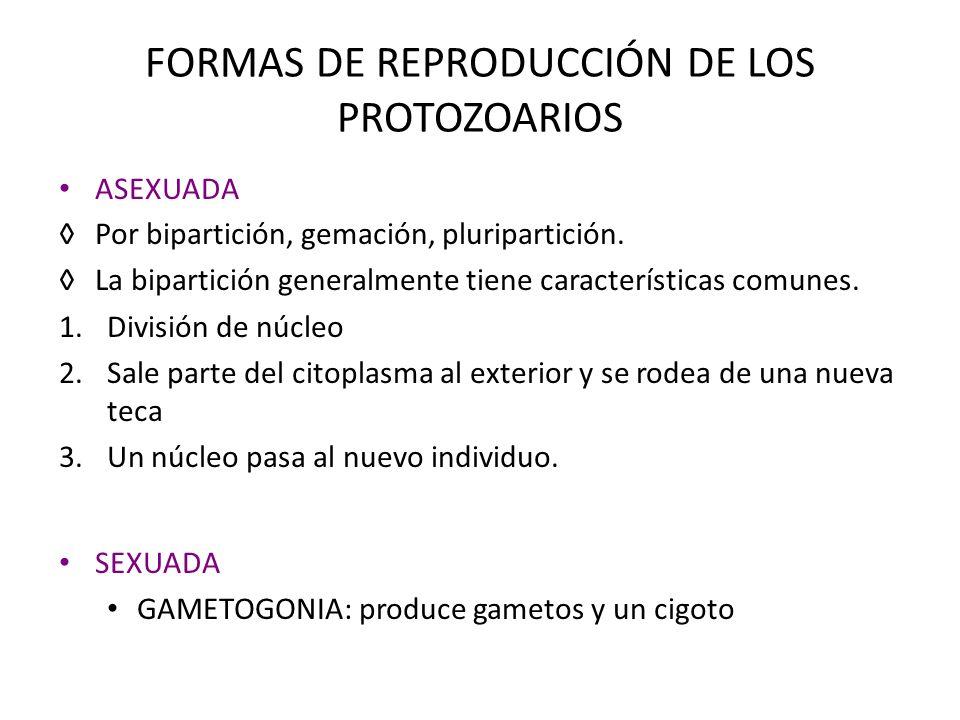 FORMAS DE REPRODUCCIÓN DE LOS PROTOZOARIOS ASEXUADA Por bipartición, gemación, pluripartición. La bipartición generalmente tiene características comun