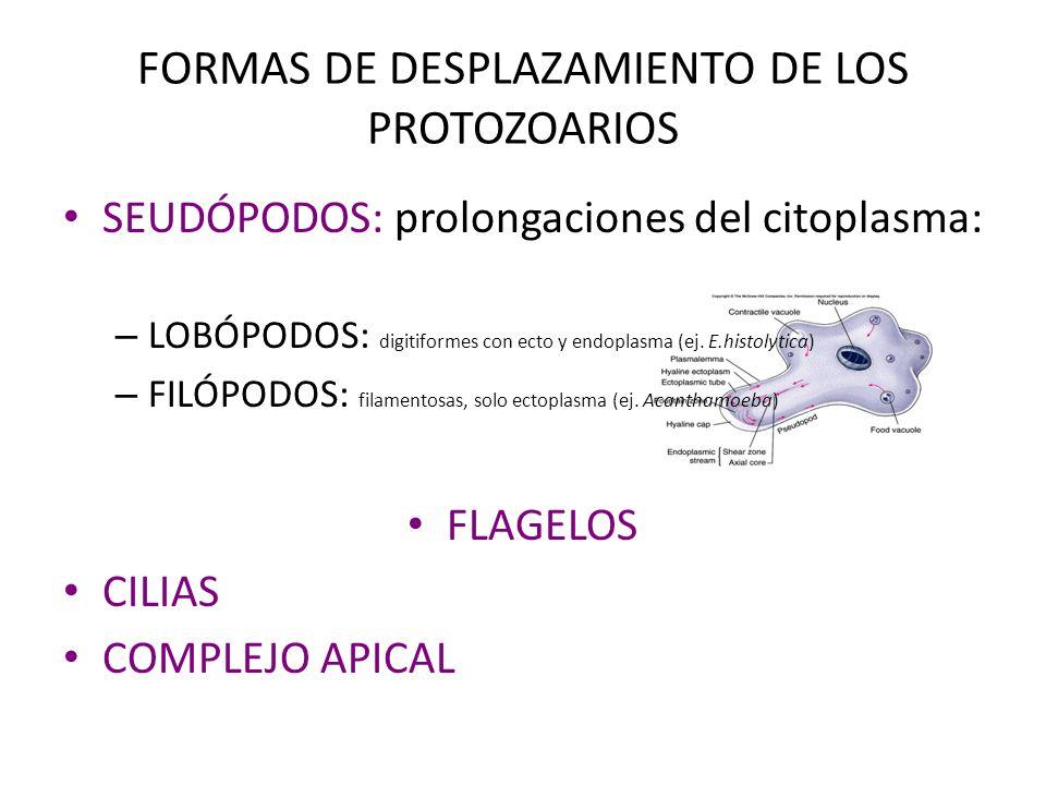 FORMAS DE DESPLAZAMIENTO DE LOS PROTOZOARIOS SEUDÓPODOS: prolongaciones del citoplasma: – LOBÓPODOS: digitiformes con ecto y endoplasma (ej. E.histoly
