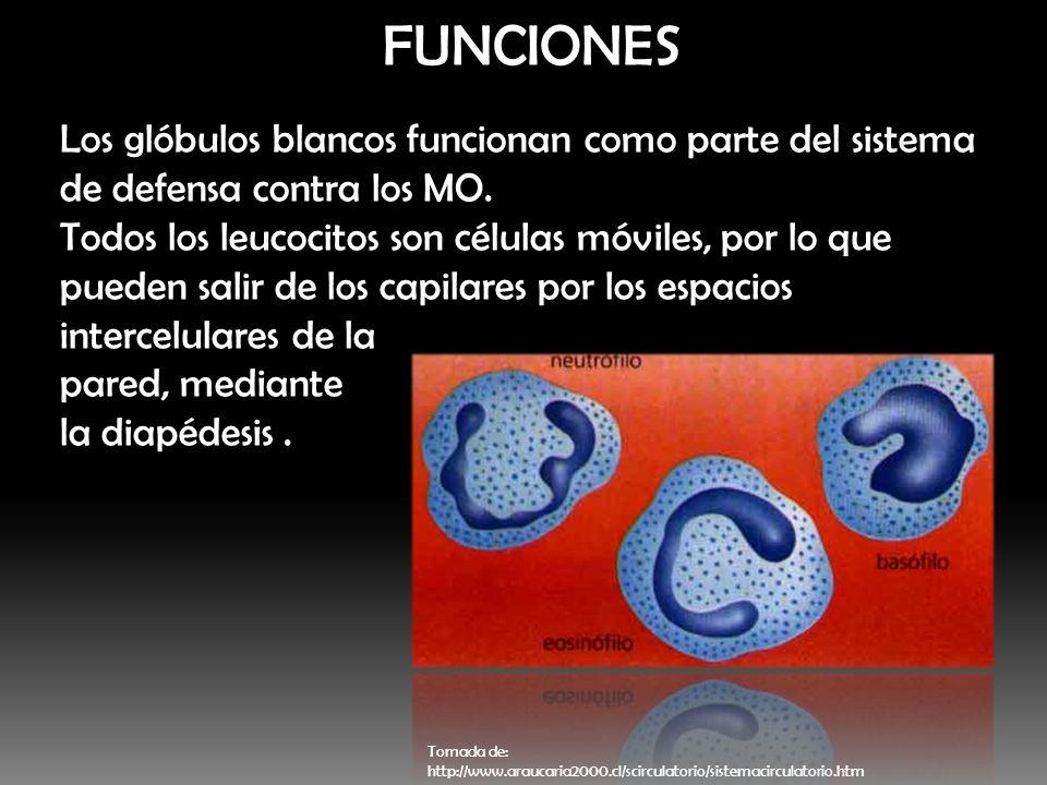 FUNCIONES Los glóbulos blancos funcionan como parte del sistema de defensa contra los MO. Todos los leucocitos son células móviles, por lo que pueden