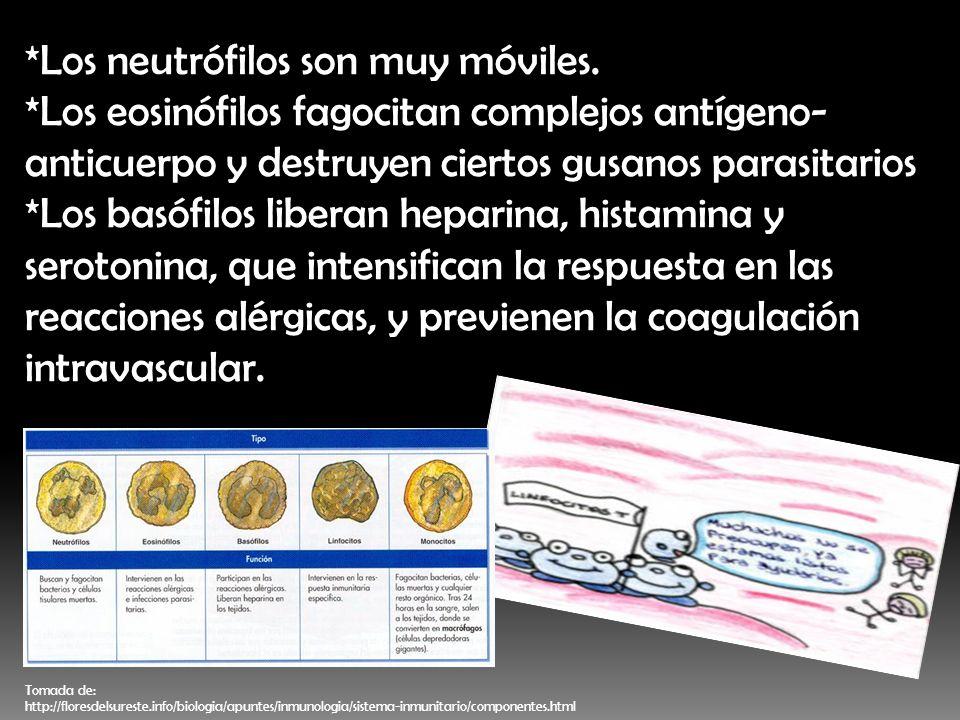*Los neutrófilos son muy móviles. *Los eosinófilos fagocitan complejos antígeno- anticuerpo y destruyen ciertos gusanos parasitarios *Los basófilos li