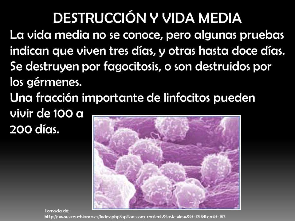 DESTRUCCIÓN Y VIDA MEDIA La vida media no se conoce, pero algunas pruebas indican que viven tres días, y otras hasta doce días. Se destruyen por fagoc
