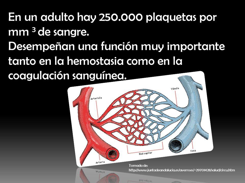 En un adulto hay 250.000 plaquetas por mm 3 de sangre. Desempeñan una función muy importante tanto en la hemostasia como en la coagulación sanguínea.