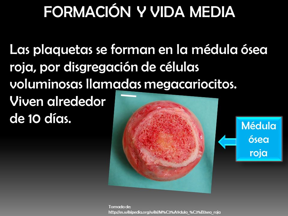 FORMACIÓN Y VIDA MEDIA Las plaquetas se forman en la médula ósea roja, por disgregación de células voluminosas llamadas megacariocitos. Viven alrededo