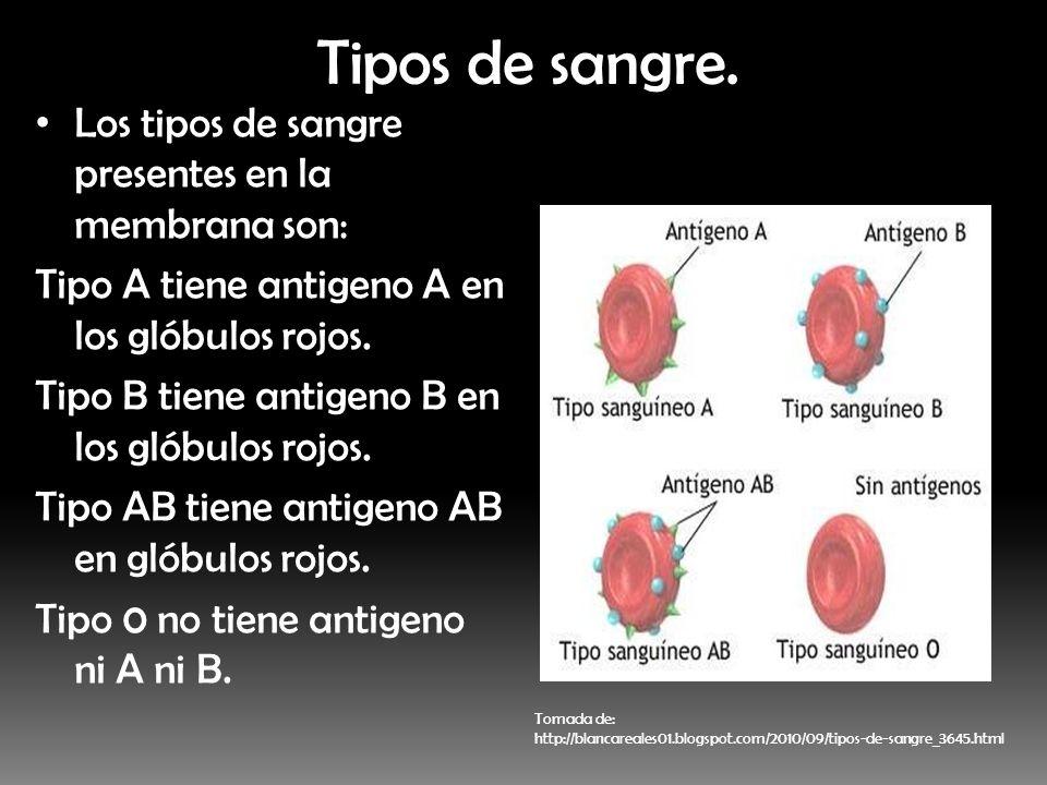 Tipos de sangre. Los tipos de sangre presentes en la membrana son: Tipo A tiene antigeno A en los glóbulos rojos. Tipo B tiene antigeno B en los glóbu