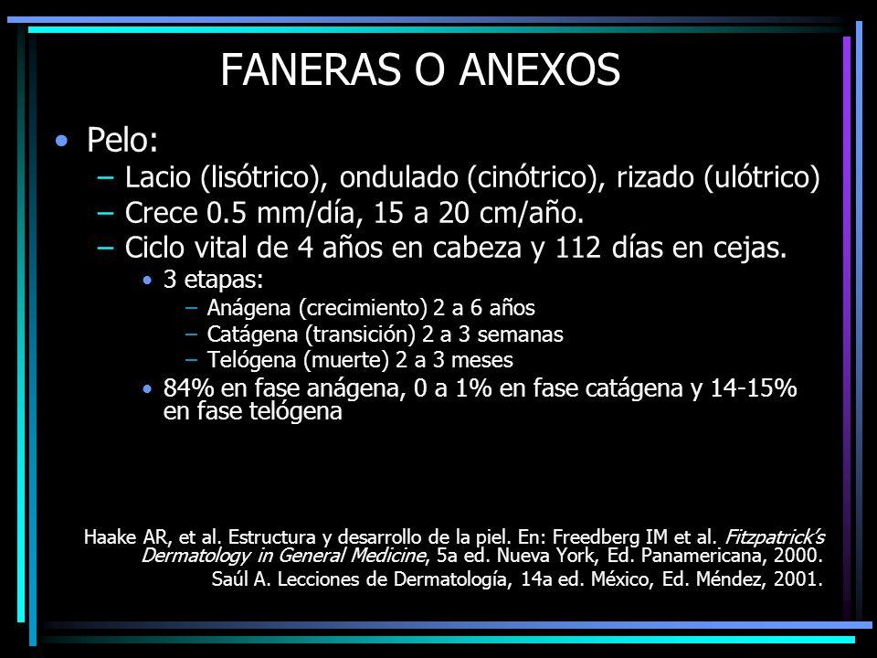 FANERAS O ANEXOS Pelo: –Lacio (lisótrico), ondulado (cinótrico), rizado (ulótrico) –Crece 0.5 mm/día, 15 a 20 cm/año. –Ciclo vital de 4 años en cabeza