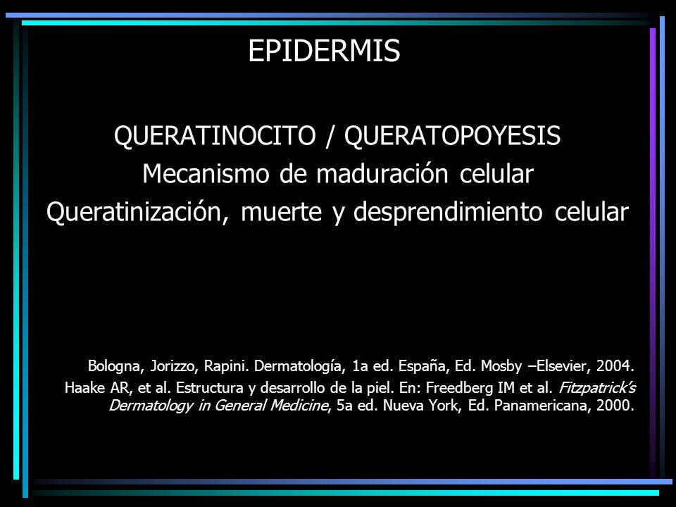 EPIDERMIS QUERATINOCITO / QUERATOPOYESIS Mecanismo de maduración celular Queratinización, muerte y desprendimiento celular Bologna, Jorizzo, Rapini. D