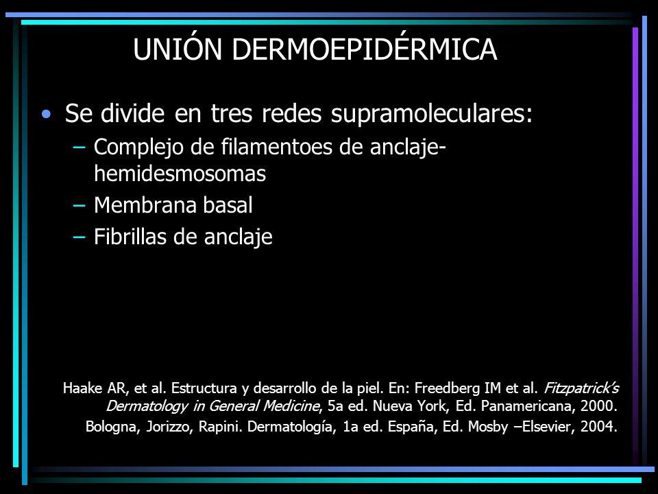 UNIÓN DERMOEPIDÉRMICA Se divide en tres redes supramoleculares: –Complejo de filamentoes de anclaje- hemidesmosomas –Membrana basal –Fibrillas de ancl