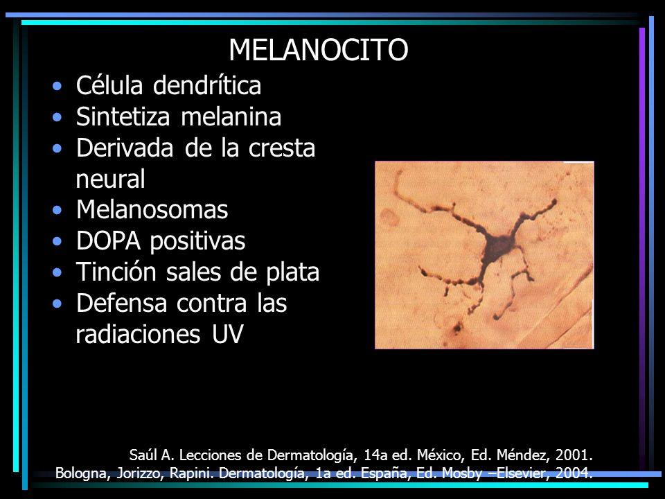 MELANOCITO Célula dendrítica Sintetiza melanina Derivada de la cresta neural Melanosomas DOPA positivas Tinción sales de plata Defensa contra las radi