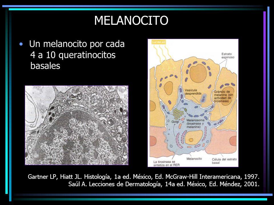 MELANOCITO Un melanocito por cada 4 a 10 queratinocitos basales Gartner LP, Hiatt JL. Histología, 1a ed. México, Ed. McGraw-Hill Interamericana, 1997.