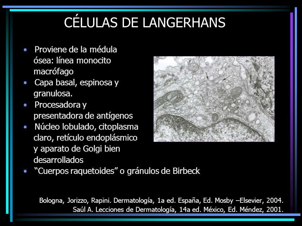 CÉLULAS DE LANGERHANS Proviene de la médula ósea: línea monocito macrófago Capa basal, espinosa y granulosa. Procesadora y presentadora de antígenos N