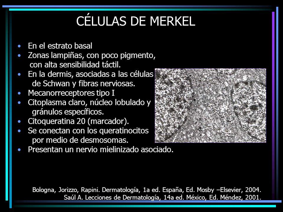 CÉLULAS DE MERKEL En el estrato basal Zonas lampiñas, con poco pigmento, con alta sensibilidad táctil. En la dermis, asociadas a las células de Schwan