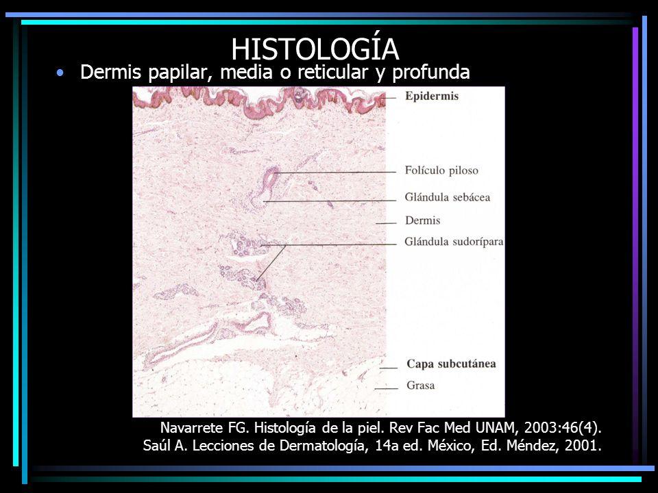 HISTOLOGÍA Dermis papilar, media o reticular y profunda Navarrete FG. Histología de la piel. Rev Fac Med UNAM, 2003:46(4). Saúl A. Lecciones de Dermat