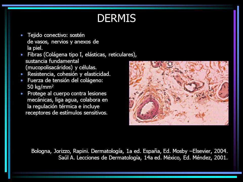 DERMIS Tejido conectivo: sostén de vasos, nervios y anexos de la piel. Fibras (Colágena tipo I, elásticas, reticulares), sustancia fundamental (mucopo