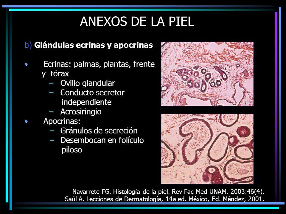 ANEXOS DE LA PIEL b) Glándulas ecrinas y apocrinas Ecrinas: palmas, plantas, frente y tórax –Ovillo glandular –Conducto secretor independiente –Acrosi