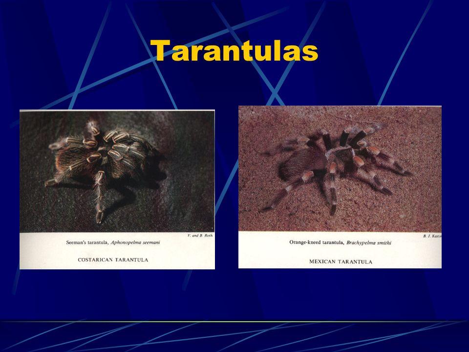 III. Clases de Arañas A. Migalomorfas