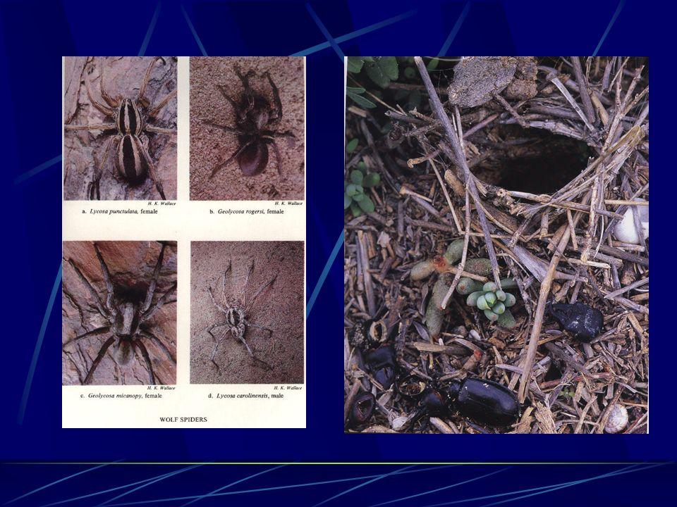 Arañas cazadoras Araña lobo Lycosidae sp.
