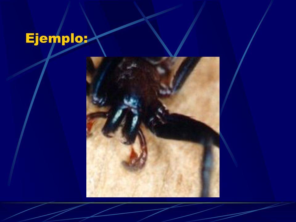 Araña de Patas Largas Pholcus phalangioides.