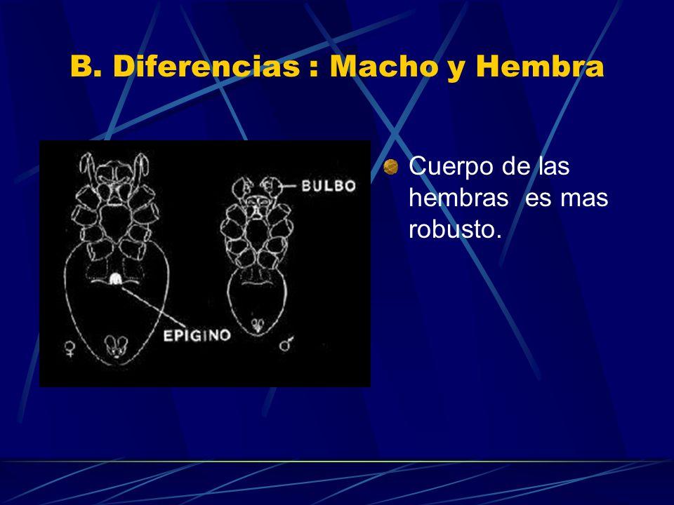 B. Diferencias : Macho y Hembra Cuerpo de las hembras es mas robusto.