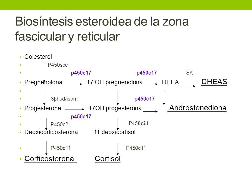 Biosíntesis esteroidea de la zona fascicular y reticular Colesterol P450scc p450c17 p450c17 SK Pregnenolona 17 OH pregnenolona DHEA DHEAS 3 hsd/isom p