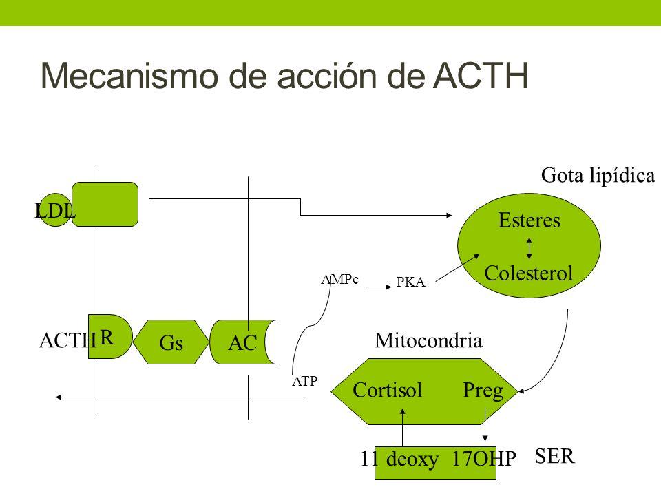 Mecanismo de acción de ACTH R GsAC Esteres Colesterol LDL Gota lipídica CortisolPreg 11 deoxy 17OHP Mitocondria SER ATP AMPc PKA ACTH