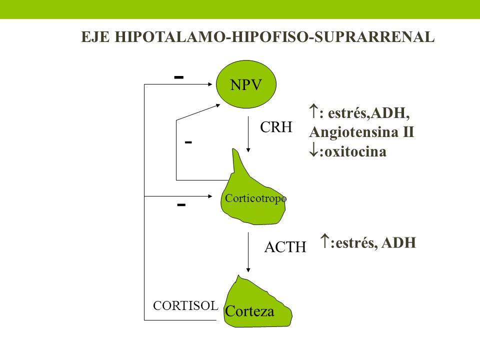 NPV CRH ACTH CORTISOL - - - Corticotropo Corteza : estrés,ADH, Angiotensina II :oxitocina :estrés, ADH EJE HIPOTALAMO-HIPOFISO-SUPRARRENAL