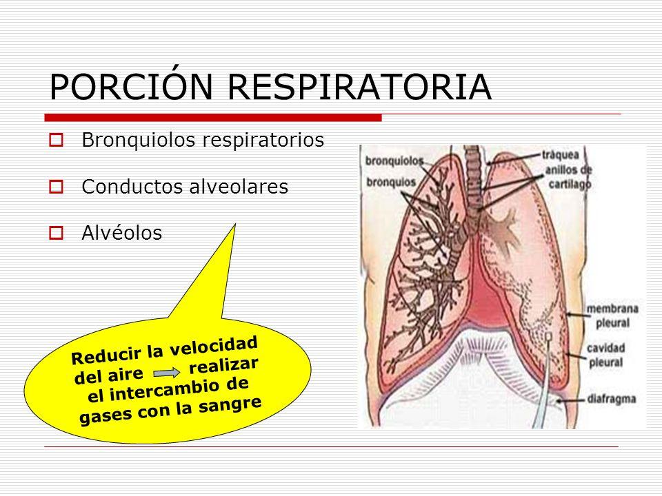 PORCIÓN RESPIRATORIA Bronquiolos respiratorios Conductos alveolares Alvéolos Reducir la velocidad del aire realizar el intercambio de gases con la san