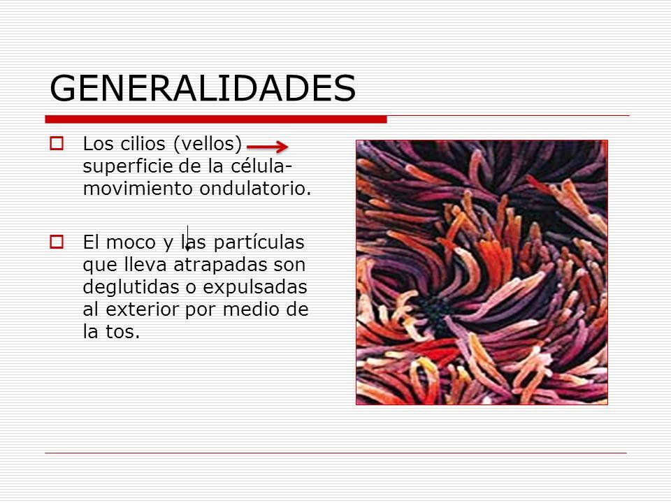 GENERALIDADES Los cilios (vellos) superficie de la célula- movimiento ondulatorio. El moco y las partículas que lleva atrapadas son deglutidas o expul