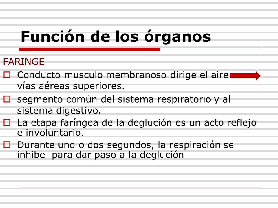 Función de los órganos FARINGE Conducto musculo membranoso dirige el aire vías aéreas superiores. segmento común del sistema respiratorio y al sistema