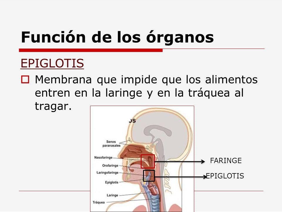 Función de los órganos EPIGLOTIS Membrana que impide que los alimentos entren en la laringe y en la tráquea al tragar. FARINGE EPIGLOTIS