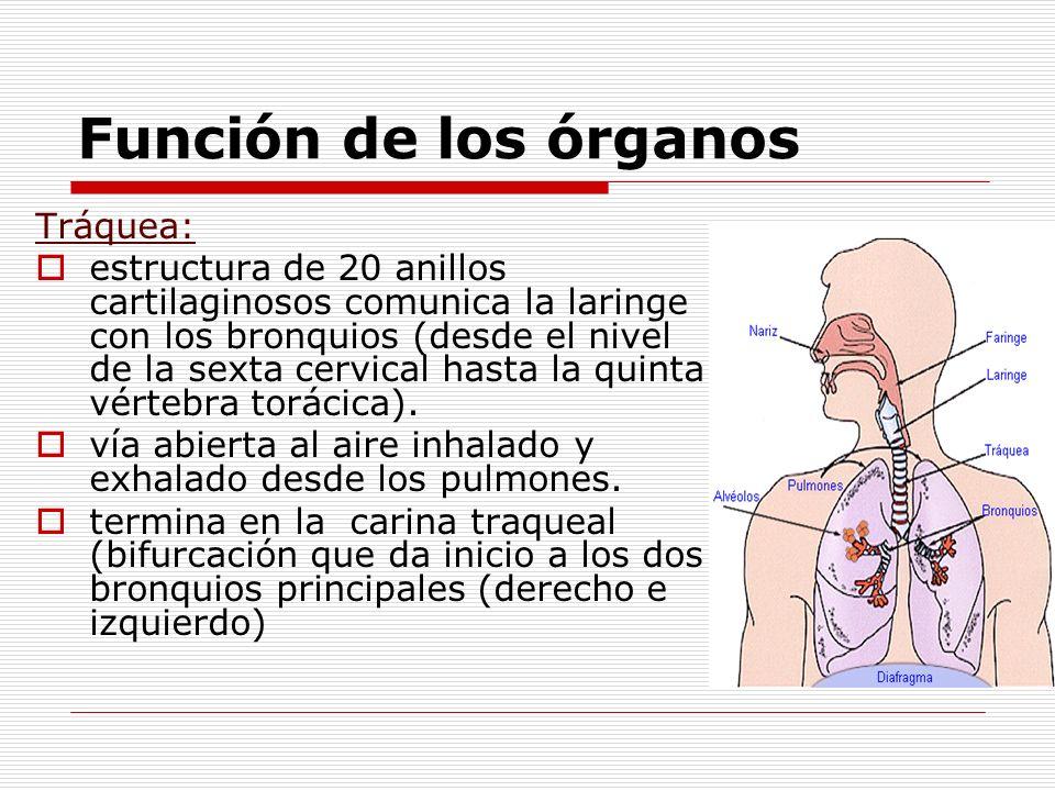 Función de los órganos Tráquea: estructura de 20 anillos cartilaginosos comunica la laringe con los bronquios (desde el nivel de la sexta cervical has