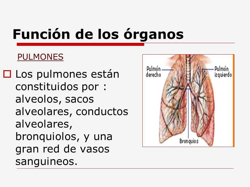 Función de los órganos Los pulmones están constituidos por : alveolos, sacos alveolares, conductos alveolares, bronquiolos, y una gran red de vasos sa