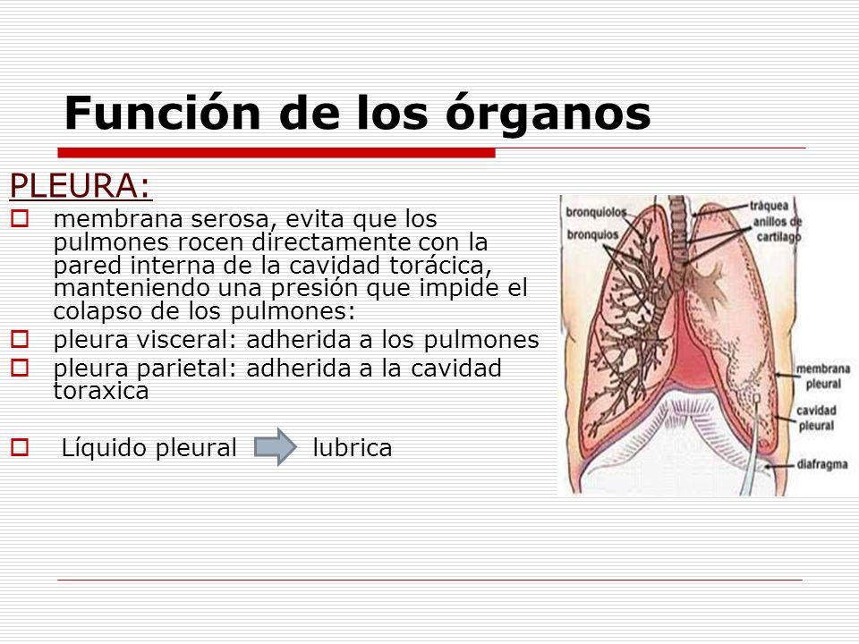 Función de los órganos PLEURA: membrana serosa, evita que los pulmones rocen directamente con la pared interna de la cavidad torácica, manteniendo una