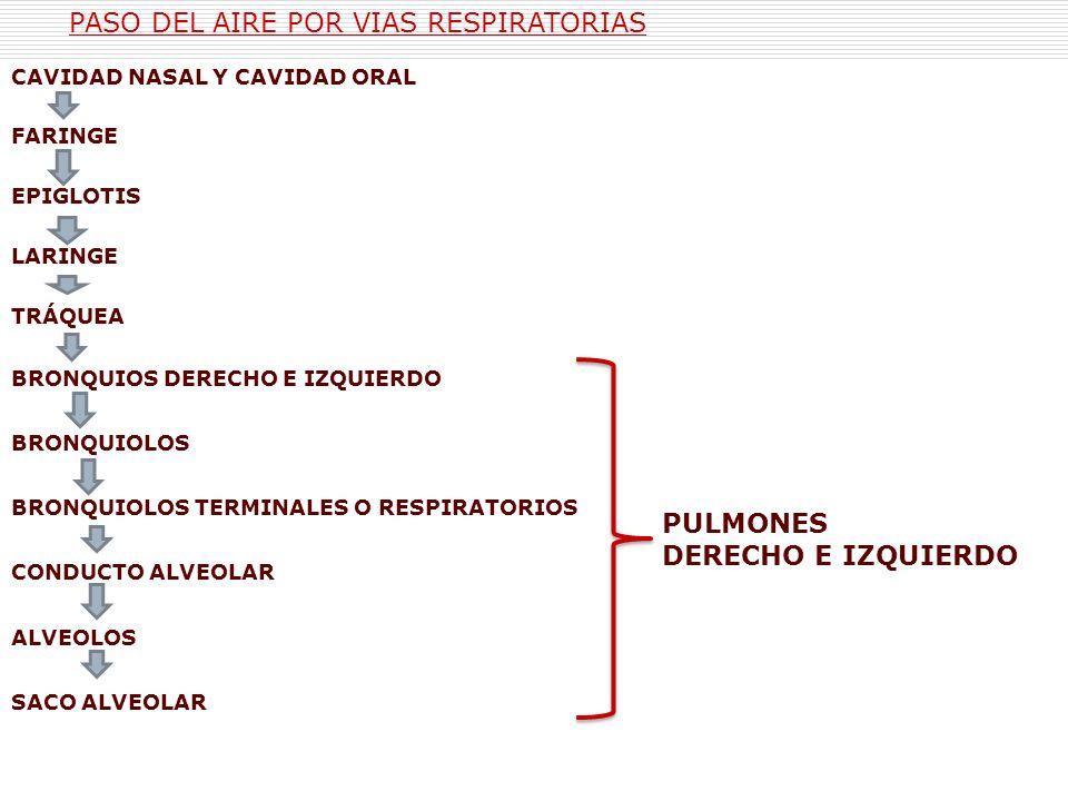 CAVIDAD NASAL Y CAVIDAD ORAL FARINGE EPIGLOTIS LARINGE TRÁQUEA BRONQUIOS DERECHO E IZQUIERDO BRONQUIOLOS BRONQUIOLOS TERMINALES O RESPIRATORIOS CONDUC