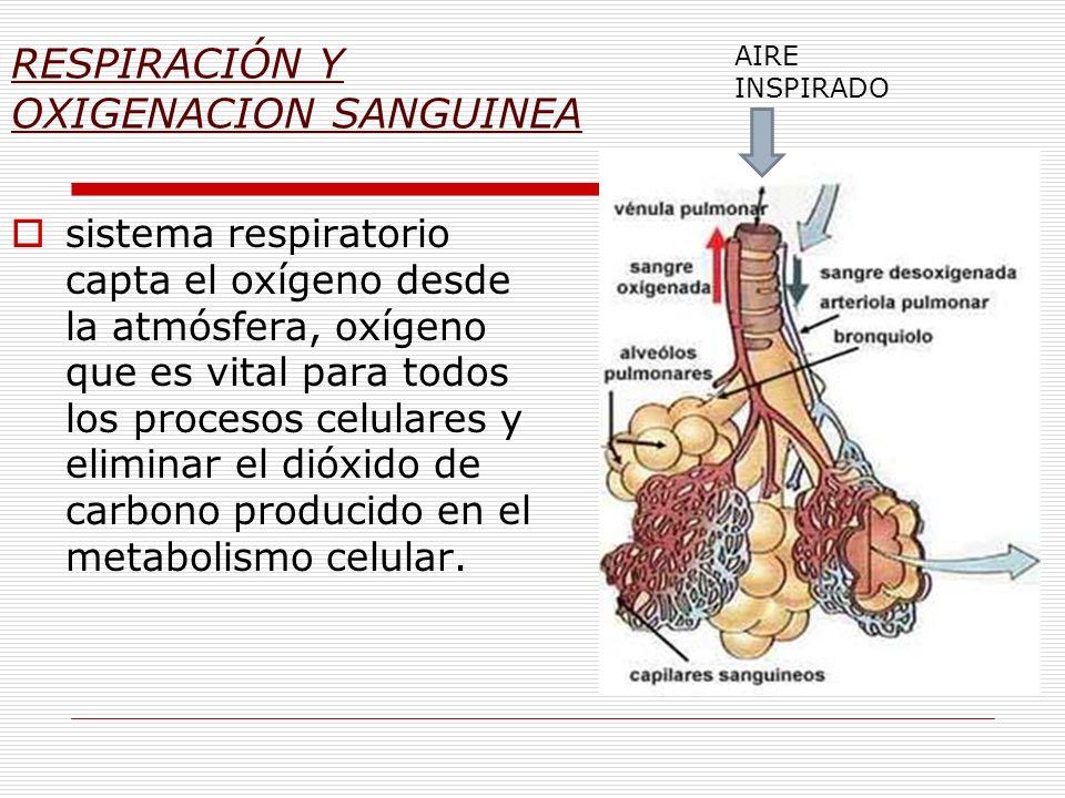 RESPIRACIÓN Y OXIGENACION SANGUINEA sistema respiratorio capta el oxígeno desde la atmósfera, oxígeno que es vital para todos los procesos celulares y
