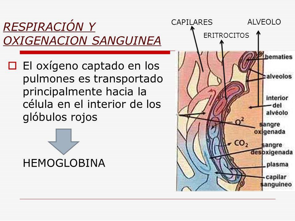 RESPIRACIÓN Y OXIGENACION SANGUINEA El oxígeno captado en los pulmones es transportado principalmente hacia la célula en el interior de los glóbulos r