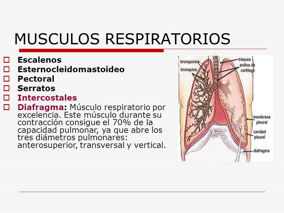 MUSCULOS RESPIRATORIOS Escalenos Esternocleidomastoideo Pectoral Serratos Intercostales Diafragma: Músculo respiratorio por excelencia. Este músculo d