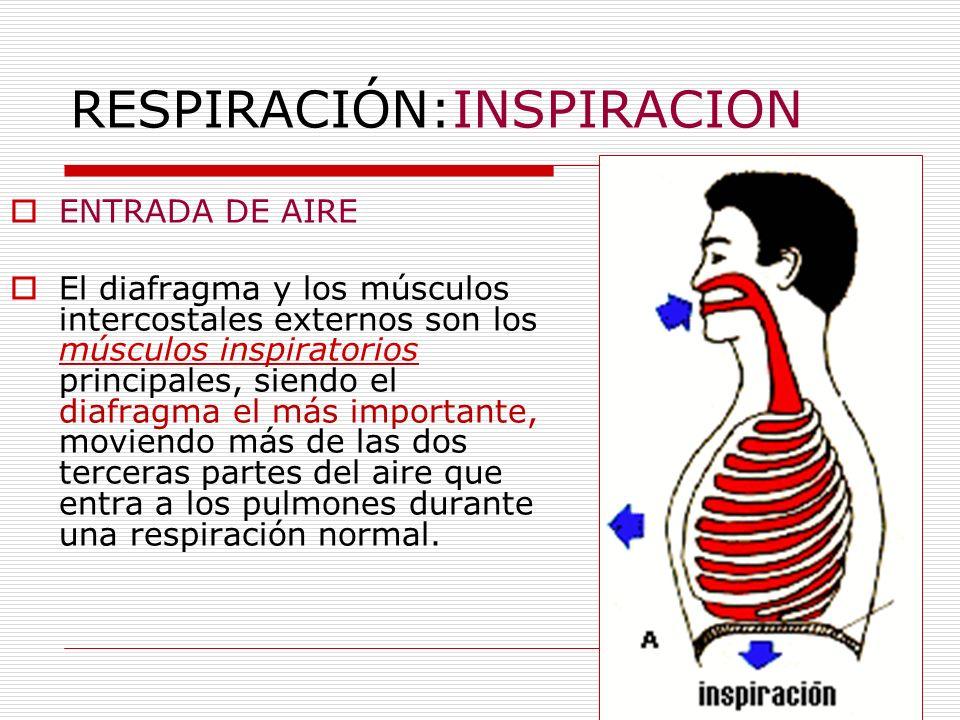 RESPIRACIÓN:INSPIRACION ENTRADA DE AIRE El diafragma y los músculos intercostales externos son los músculos inspiratorios principales, siendo el diafr