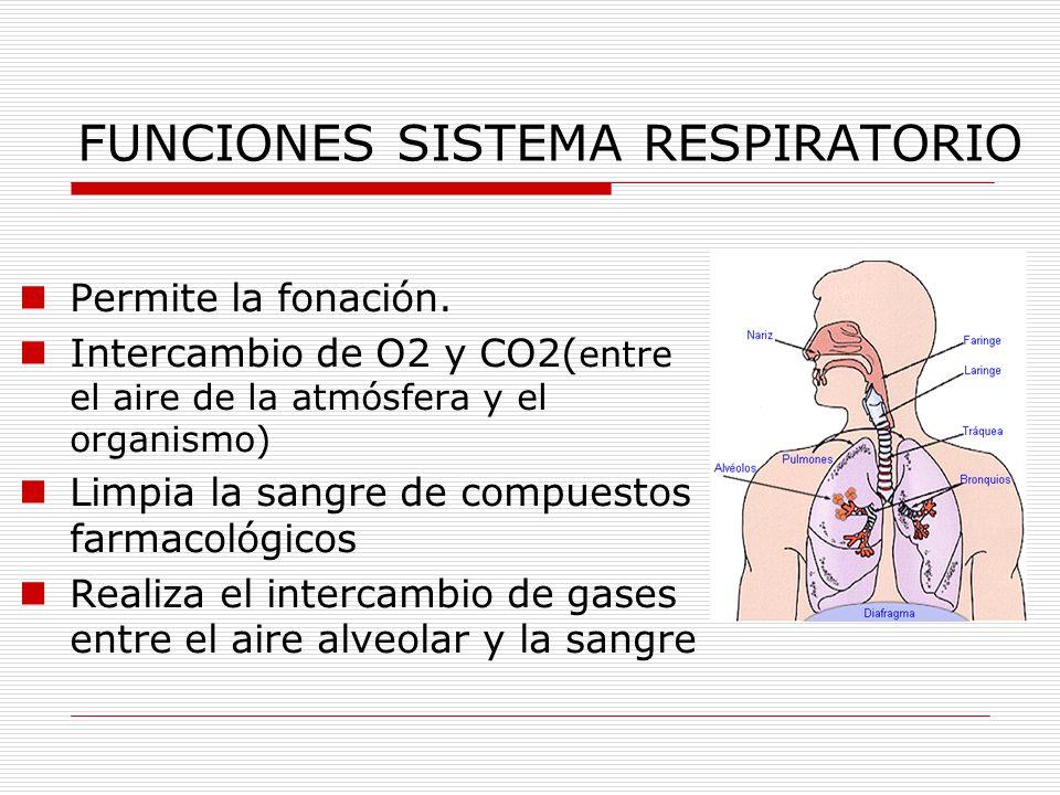 FUNCIONES SISTEMA RESPIRATORIO Permite la fonación. Intercambio de O2 y CO2( entre el aire de la atmósfera y el organismo) Limpia la sangre de compues