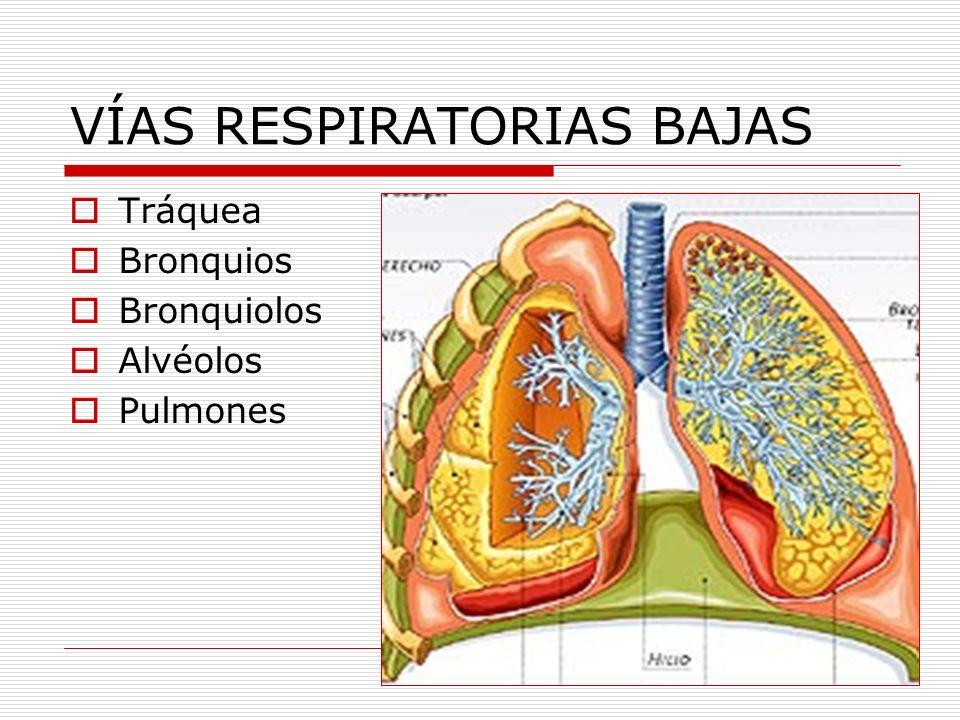VÍAS RESPIRATORIAS BAJAS Tráquea Bronquios Bronquiolos Alvéolos Pulmones