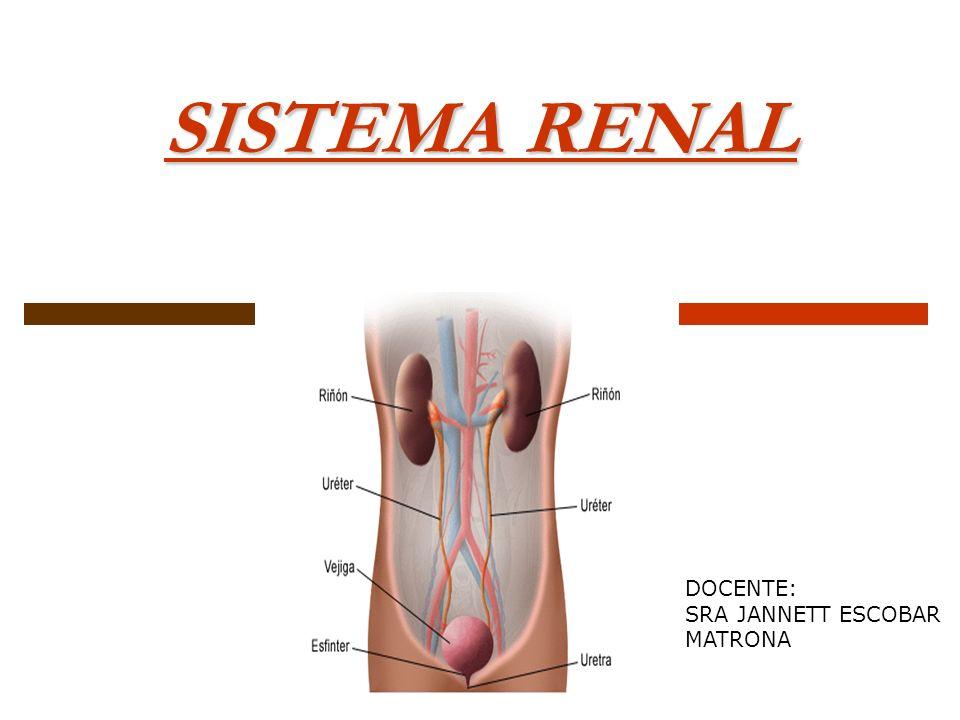 OBJETIVO IV UNIDAD Describir generalidades anatómicas y fisiológicas de los sistemas urinario y reproductor en el ser humano.