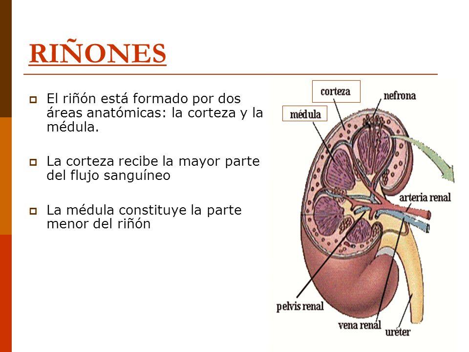 RIÑONES El riñón está formado por dos áreas anatómicas: la corteza y la médula. La corteza recibe la mayor parte del flujo sanguíneo La médula constit
