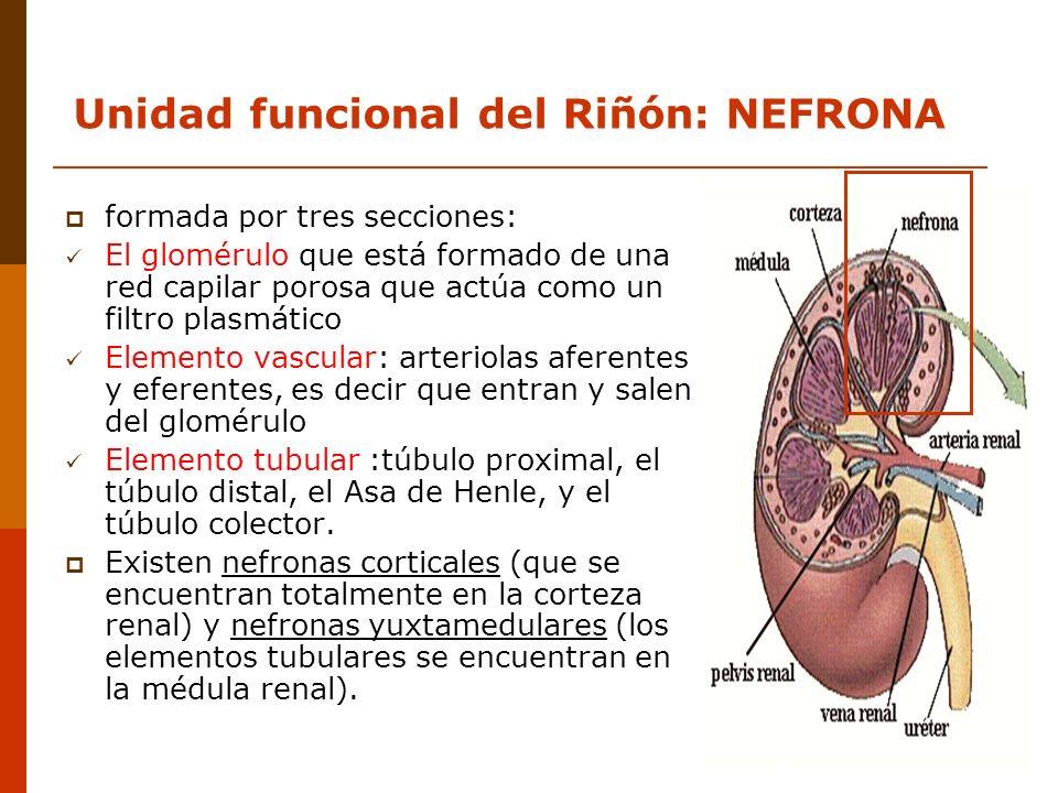 formada por tres secciones: El glomérulo que está formado de una red capilar porosa que actúa como un filtro plasmático Elemento vascular: arteriolas