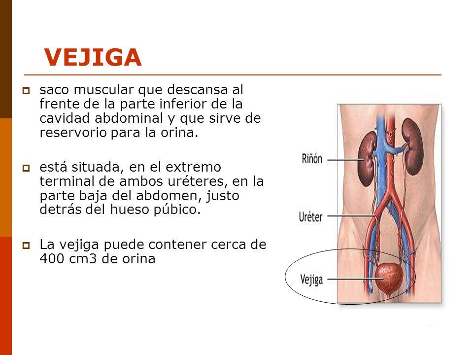 saco muscular que descansa al frente de la parte inferior de la cavidad abdominal y que sirve de reservorio para la orina. está situada, en el extremo