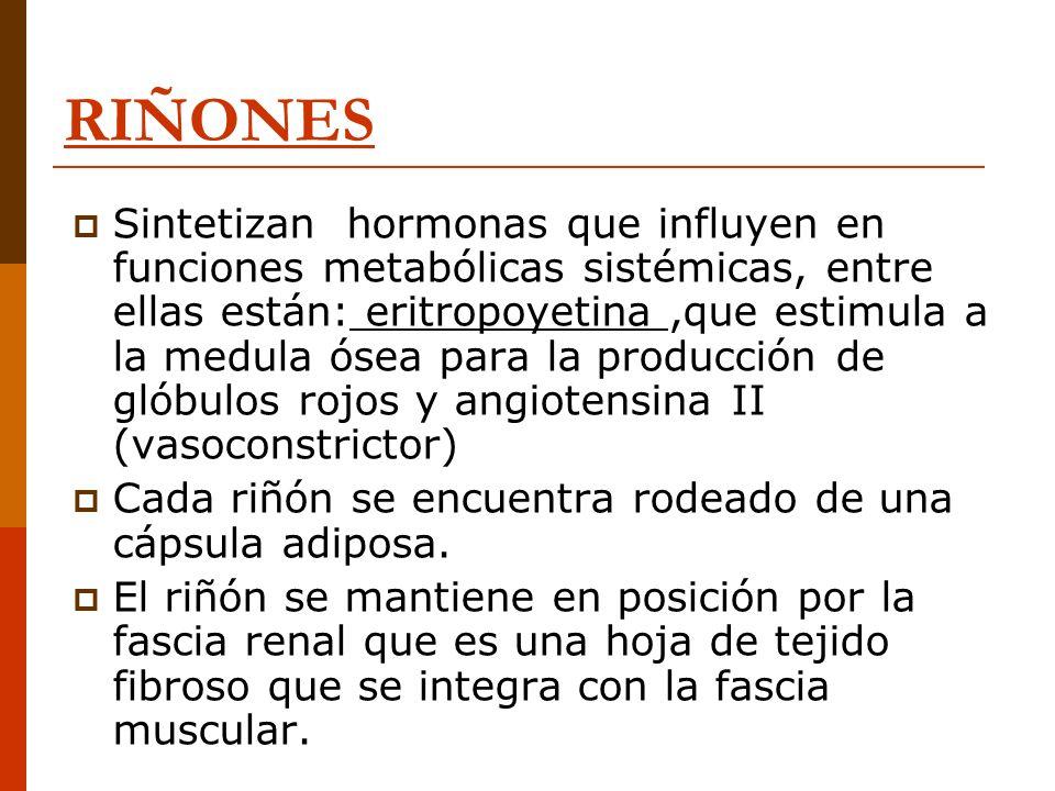 RIÑONES Sintetizan hormonas que influyen en funciones metabólicas sistémicas, entre ellas están: eritropoyetina,que estimula a la medula ósea para la