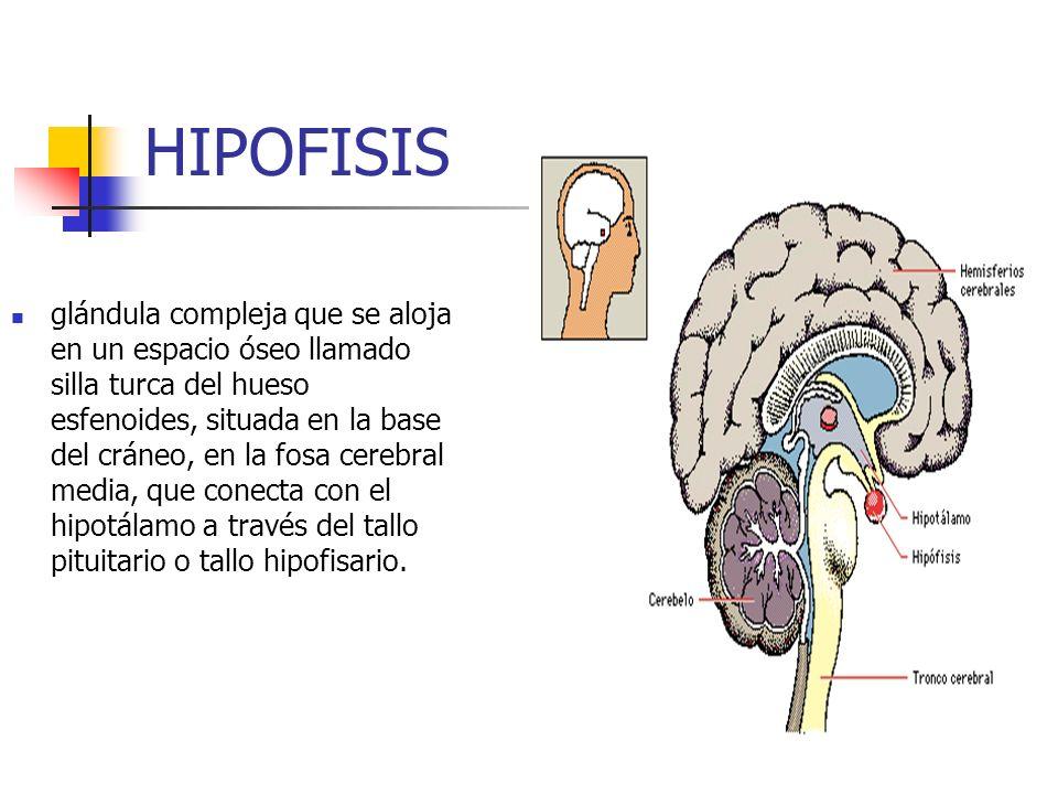 glándula compleja que se aloja en un espacio óseo llamado silla turca del hueso esfenoides, situada en la base del cráneo, en la fosa cerebral media,
